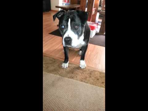Dog learns how to whisper quietly.  difficult dog trick.