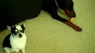 Chihuahua Vs Doberman