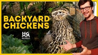 Tips on Backyard Chickens, Quail and Other Fowl Play