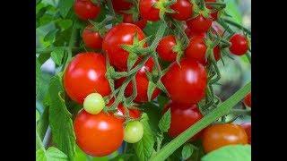 Семена любимых сортов томатов. Рекомендовано подписчиком.