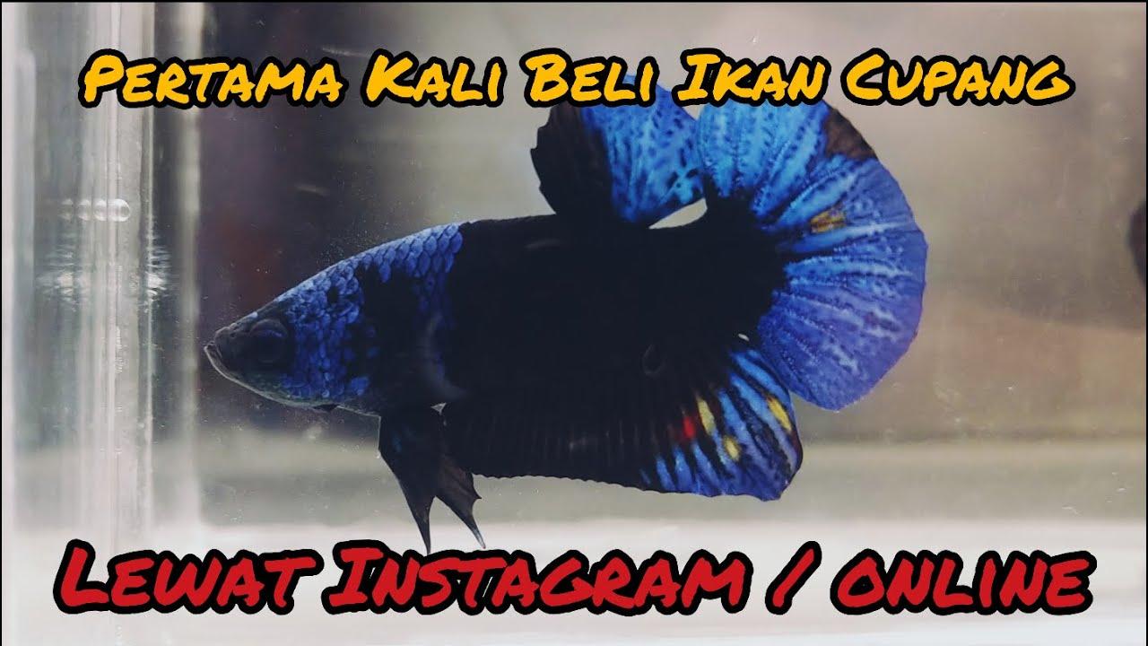 Pertama Kali Beli Ikan Cupang Lewat Instagram Cupangpewpew Betta Fish Online Market Indonesia Youtube