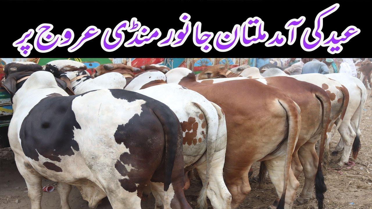 Multan Cow Mandi II Janwar Mandi II Bakra Eid 2020 II Latest Update 4 July 2020
