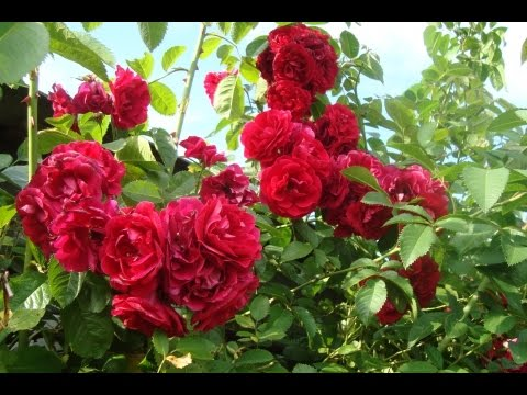 Как размножить плетистую розу осенью