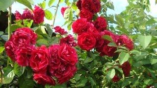 Как размножить вьющуюся плетистую розу черенками(Черенкование как метод размножения плетистых роз наиболее эффективен. Побеги длинной 17-20 см нарезают на..., 2015-06-06T06:02:21.000Z)