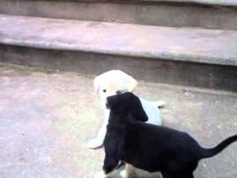 Chó trắng cắn nhau với chó đen
