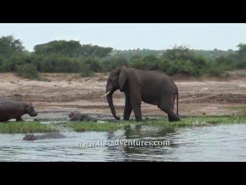 BABY HIPPO VS ANGRY ELEPHANT - UGANDA