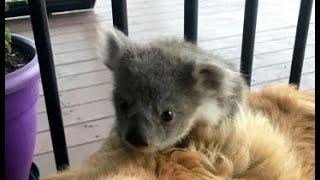 散歩から帰ってきた犬 コアラの赤ちゃんを連れてきた! <関連動画> 猫...