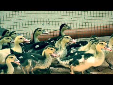 مراحل تربيه البط المسكوفي Youtube