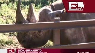 Zoológico de León presume un extinto rinoceronte negro/ Titulares de la tarde