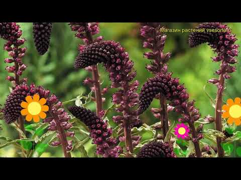 Вербейник темнопурпурный Божоле. Краткий обзор, описание lysimachia atropurpurea Beaujolais
