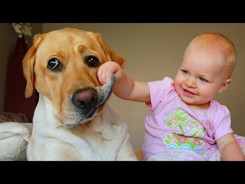 Labrador Dog and Baby Compilation