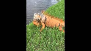 Biggest orange iguana!