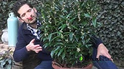 Sarcococca Winter Gem by Concept Plants