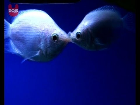 Kissing Fish Have So Much Love!