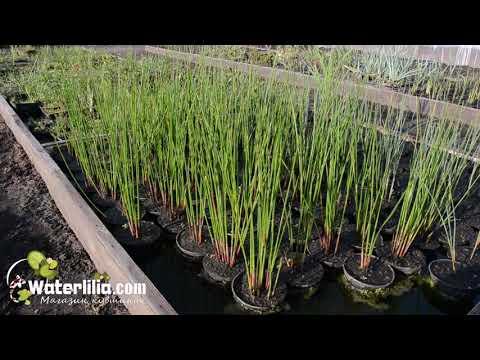 Ситник водное растение для пруда