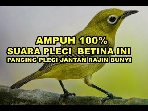 AMPUH 100% SUARA PLECI BETINA INI PANCING PLECI JANTAN GACOR