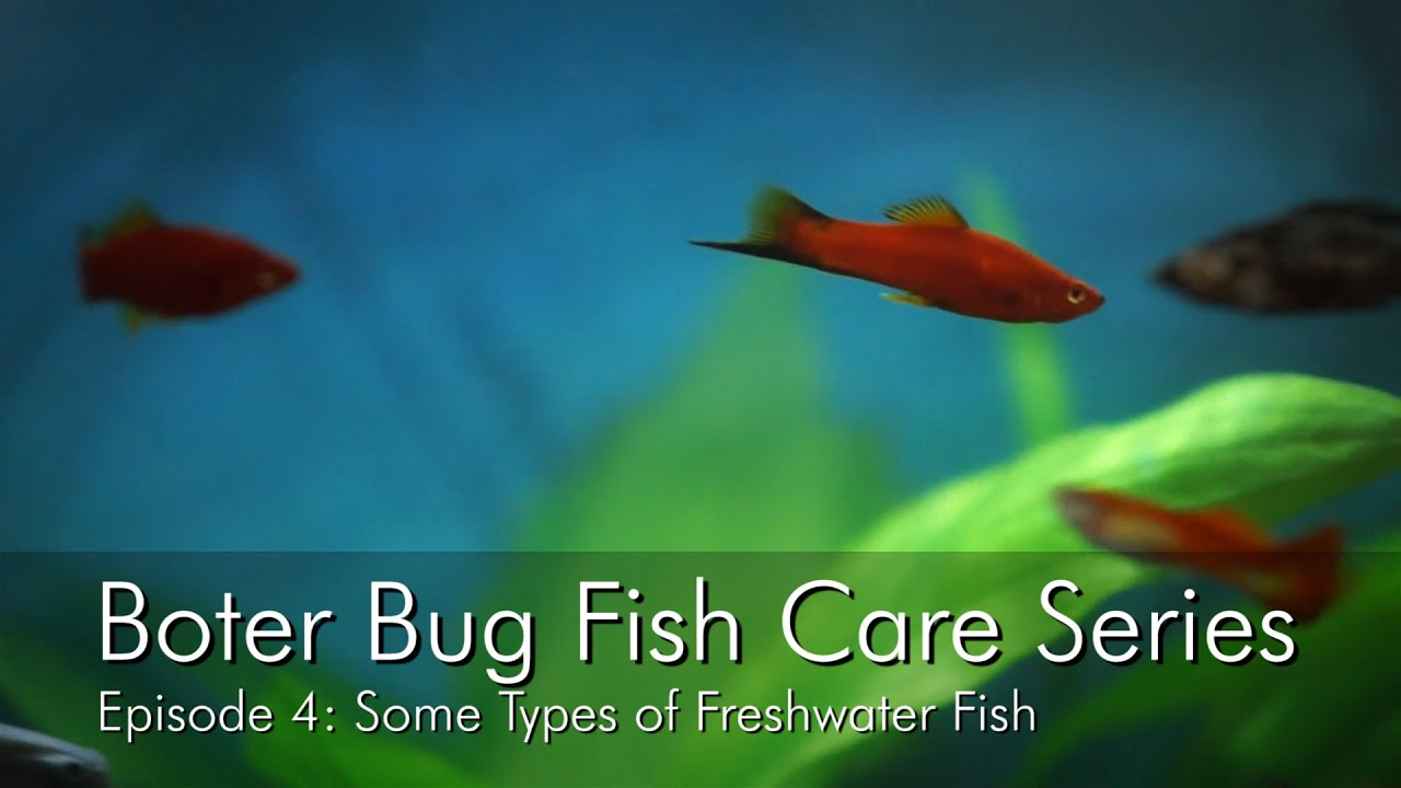 Freshwater fish care - Boter Bug Fish Care Series Episode 4 Some Types Of Freshwater Fish