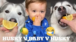 Husky & Baby Do The Lemon Challenge!! [TRY NOT TO LAUGH]