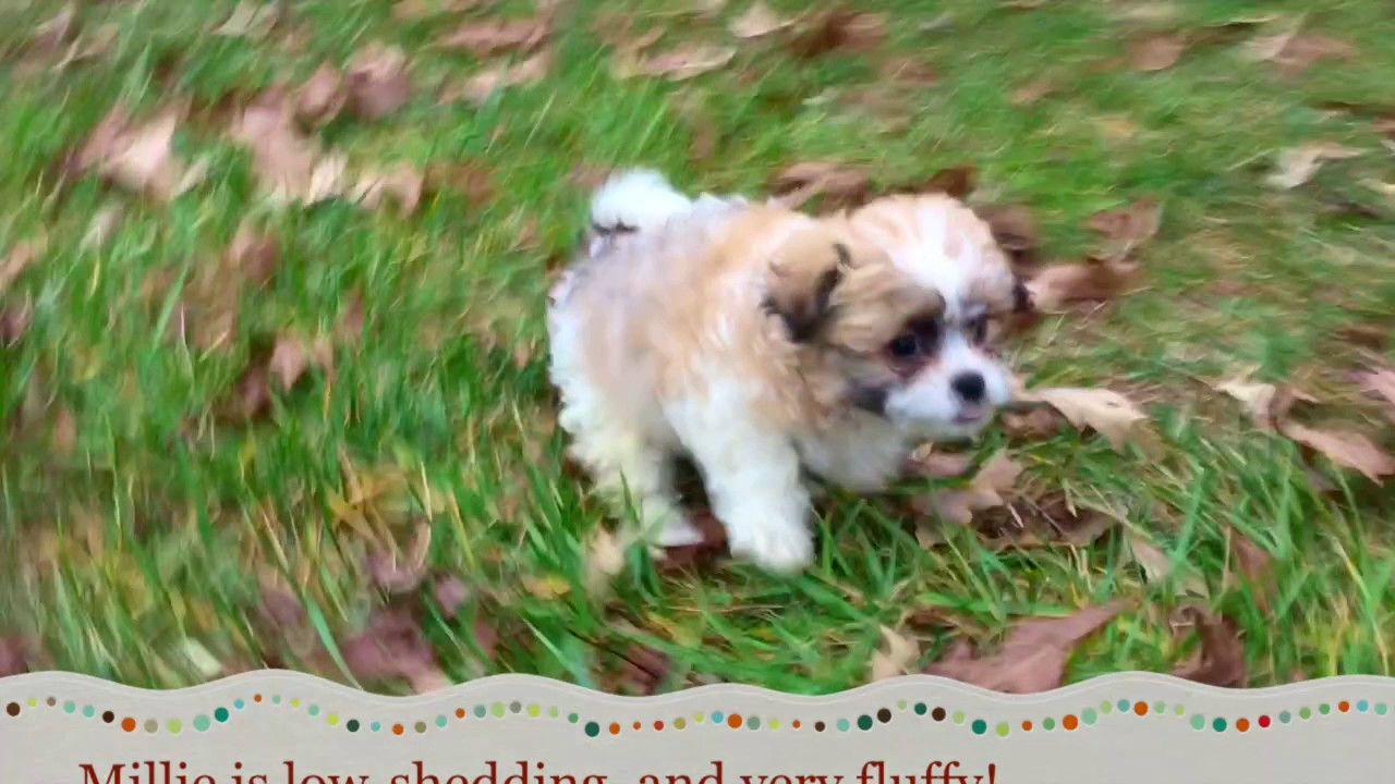 Shichon puppies for sale in indiana - Teddy Bear Puppies For Sale In North Carolina