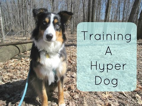 Training a Hyper Dog : Tips and Tricks for Traning an Australian Shepherd