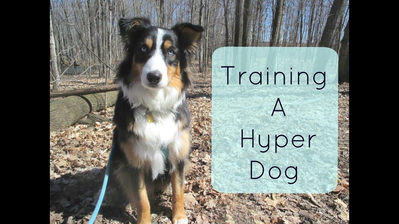 Training A Hyper Dog Tips And Tricks For Traning An Australian Shepherd