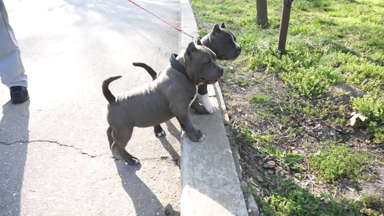 Adorable American Bully Puppies Youtube
