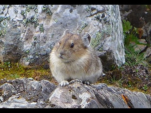 American Pika Collecting Grass for Winter - Moraine Lake