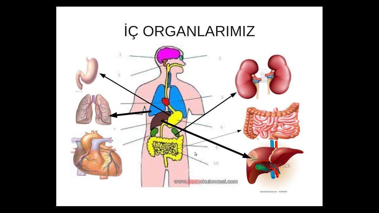 Iç Organlarımız Hakkında Ilginç Bilgiler Youtube