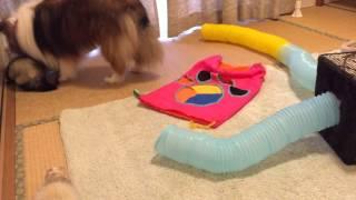 お預かりしているココ&ナッツと我が家のモグ&グリ。 仲良く遊ぶ輪に仲...