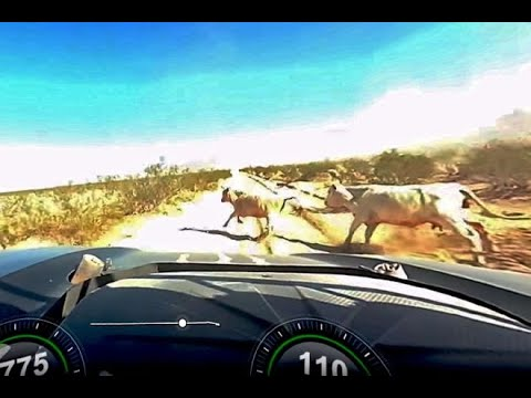 TROPHY TRUCK HITS TWO COWS (ORIGINAL CRASH FOOTAGE)