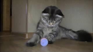 бешенство у кошек / приколы с кошками / Мейн Кун играет
