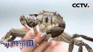 [中国新闻] 阳澄湖大闸蟹开捕 预计产量高于去年   CCTV中文国际