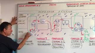 CADENA TRANSPORTADORA DE ELECTRONES -  FOSFORILACION OXIDATIVA-RESPIRACION CELULAR