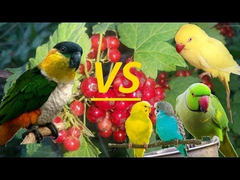 агрессия между разными видами попугаев. aggression between different types of parrots.