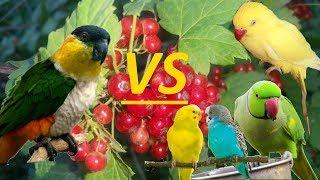 агрессия между разными видами попугаев. Драка попугаев. КАИК, ожереловые попугаи и волнистые.
