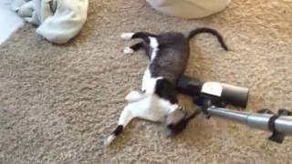 Adolf the cat VS The vacuum cleaner