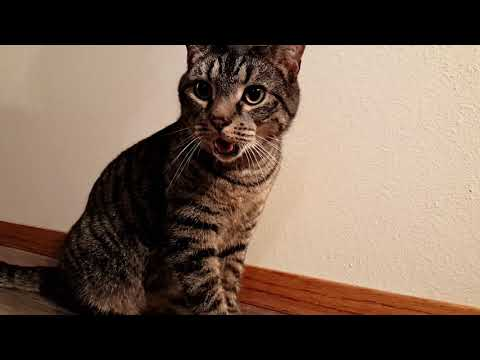 Cat and Kitten Chasing Laser Level   Cat Starts Panting   Both Cats Are Rescued Strays
