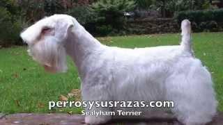 El Sealyham Terrier fue criado de forma selectiva utilizando varios...
