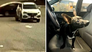 chihuahua-crashes-car-while-owner-pumps-gas