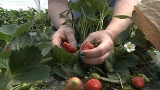 Short Takes: Strawberry Fields Forever | University of Arkansas