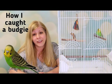 I found another lost budgie | I rescued a budgie off the street