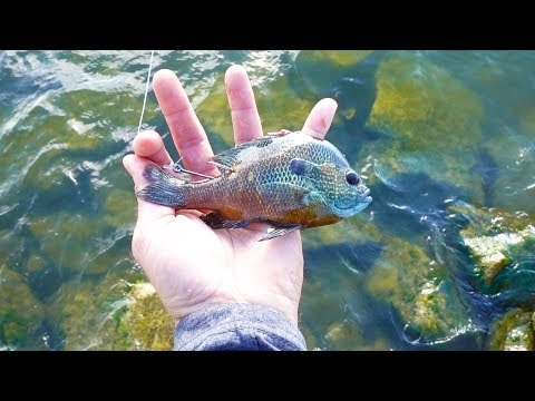 Fishing with a Live Bluegill