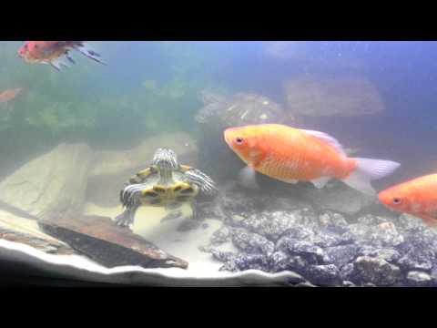 Goldfish And Turtle Tank Setup.
