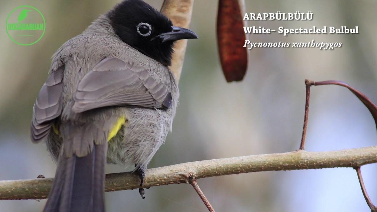 Arap Bülbülü - Doğadabuan Kuş Sesleri Serisi 13