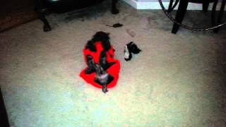 Happy Mini Schnauzer Playing With Toys.