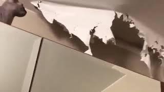 Кошка порвала натяжной потолок, и сидит там,