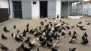 Николаевские голуби Донбасса в Белгороде