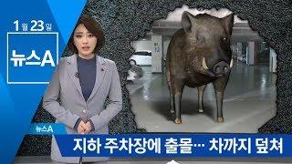 주차장에 출몰해 '아수라장'…부산 '멧돼지 경보'   뉴스A