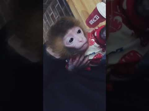 Cute Baby Monkey With A Girl
