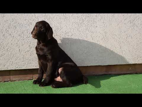 Jake - Labrador Retriever Puppy for sale
